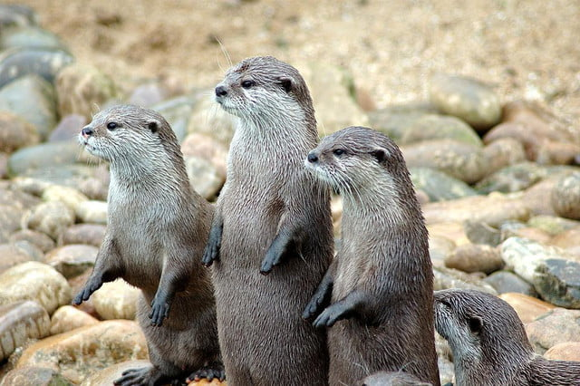 london zoo youtube livestream  px otters in a row