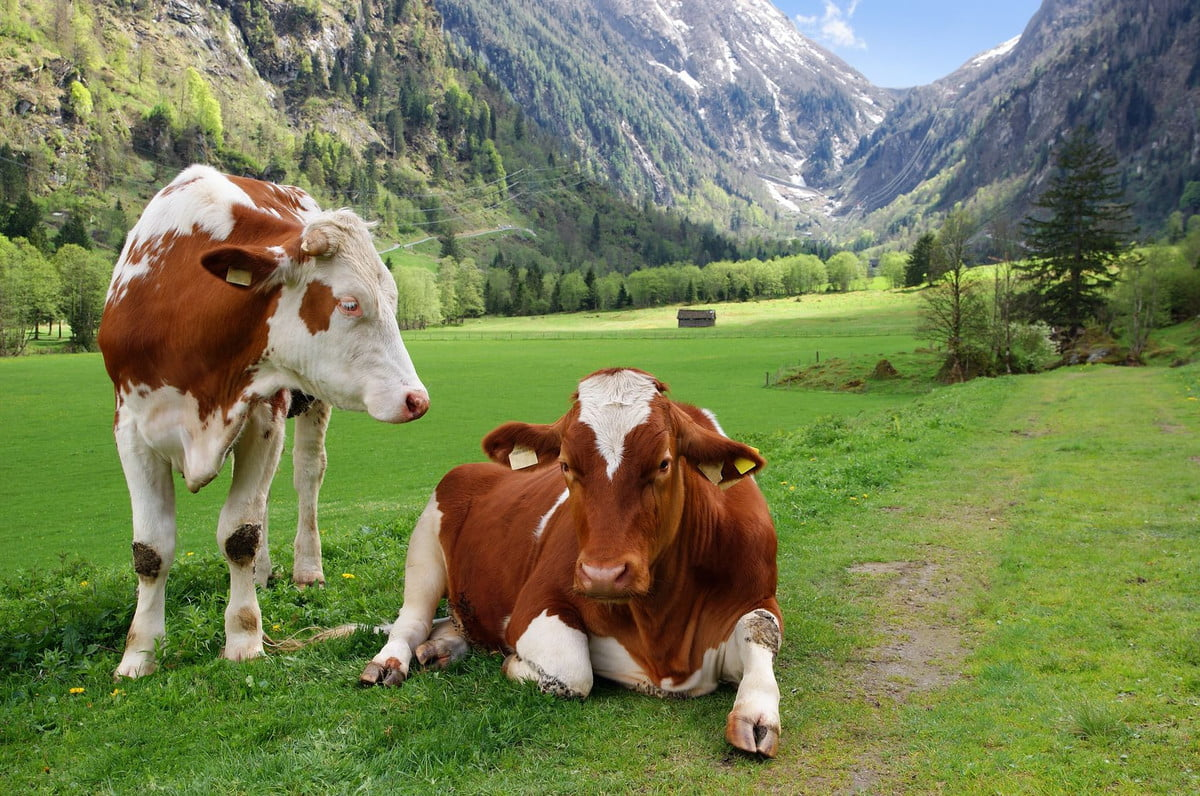 cow health stomach implant smaxtec  two cows in the alpine mountains austria