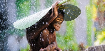 """""""Orangutan in the Rain."""" (Copyright: (c) Andrew Suryono, Indonesia, Entry, Nature and Wildlife Category, Open Competition, 2015 Sony World Photography Awards.)"""