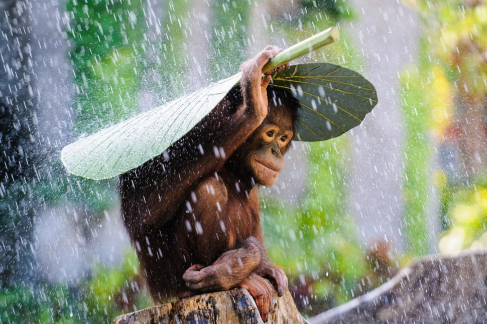 130620796110877052_c-andrew-suryono-indonesia-entry-nature-and-wildlife-category-open-competition-2015-sony-world-photography-awards-970x646-c - Speaking no evil in the rain - Photos Unlimited