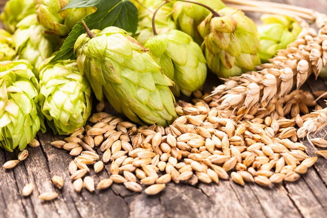 scientists using hops to develop new antibiotics  ml