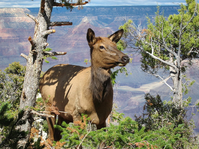 woman charged elk yellowstone national park  e eb a c