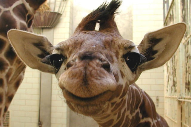 facebook news feed probably full giraffe profile pics heres baby