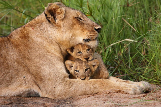 nat geo wild big game of thrones wildlife miniseries baby lion national geographic
