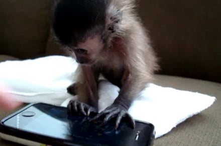 baby-monkey-playing-with-iphone