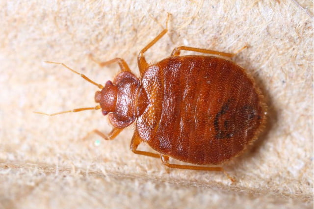bed bug genome sequenced  bedbug remedy