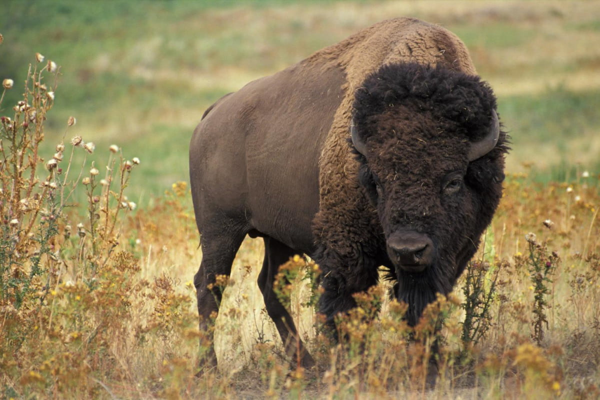 woman tries to take selfie with bison gets flipped into air in yellowstone national park