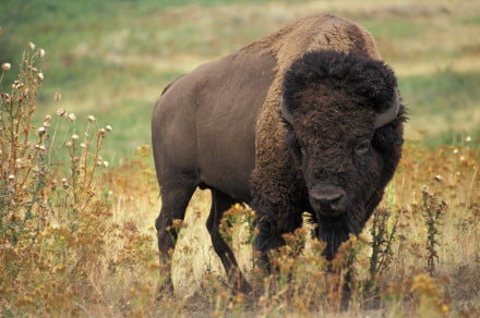 bison-in-yellowstone-national-park