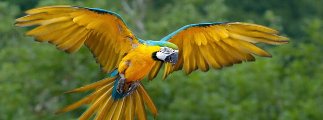 blueyellowmacaw
