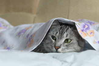 Cat in bed sheets
