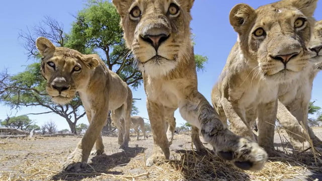 photographers camera buggy attacked lion pack lives shoot another day chris mclennan lions