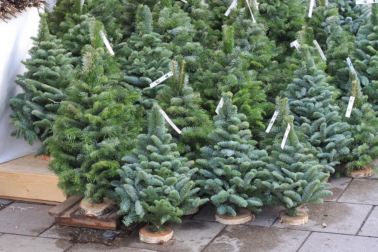 Tips on picking a real live christmas tree digital trends - Tips to care for a natural christmas tree ...