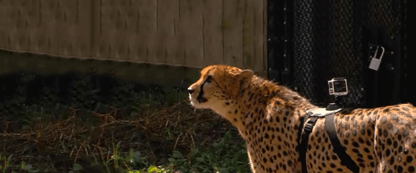 Watch a cheetah sprint to60 mph from a GoPro on its back