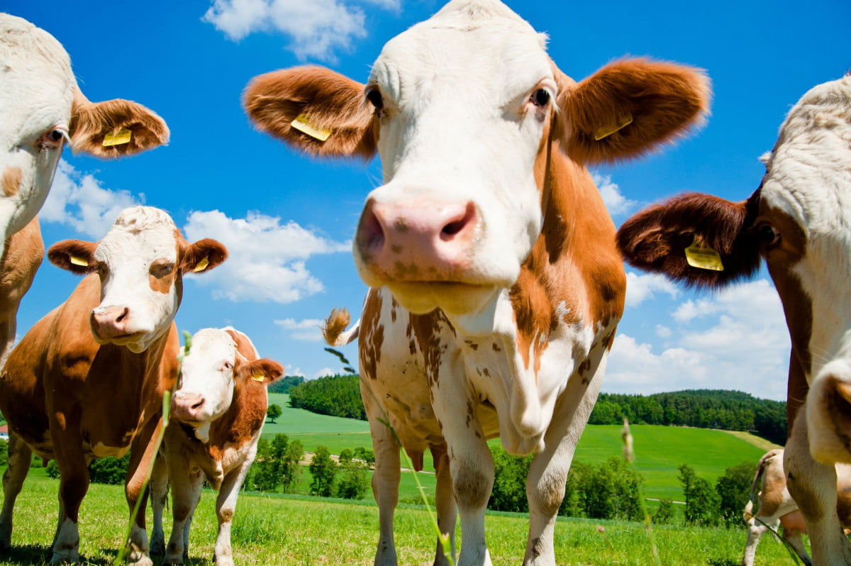 china to build worlds largest animal cloning factory cloned cows