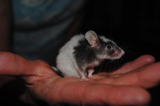 genetically modified mice sniff out explosives diseases dbca  ea ee a be