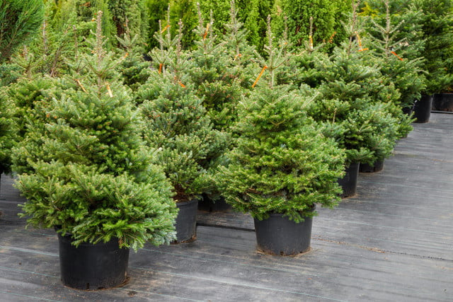 40900148-christmas-trees-in-pots-for-sale-720x720