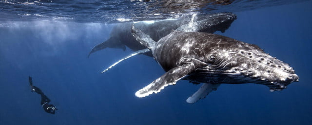 divingwithwhales