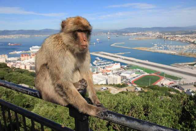gps collars used to end monkey madness in gibraltar