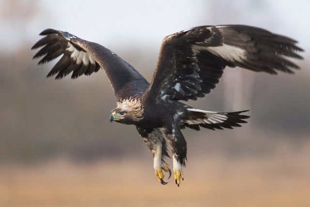 france trains eagles rogue drones golden eagle flight