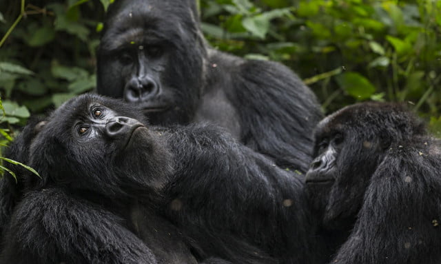 Gorillas-Virunga-National-009