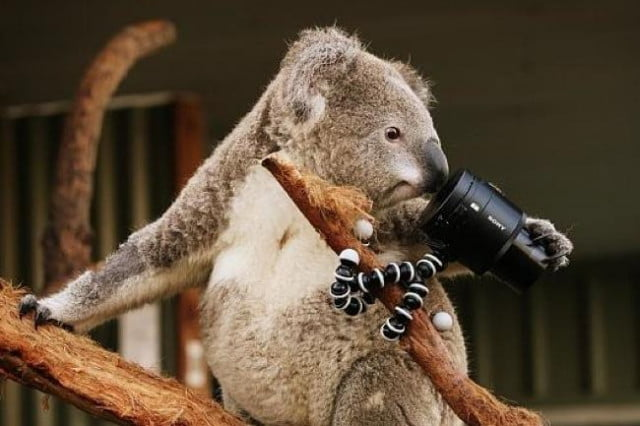 selfie snapping koalas may cutest fuzzballs instagram right now koala