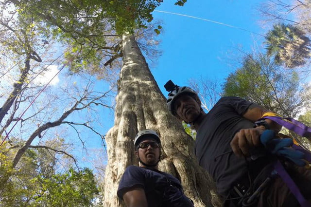 lady liberty cypress tree cloned archangel ancient archive