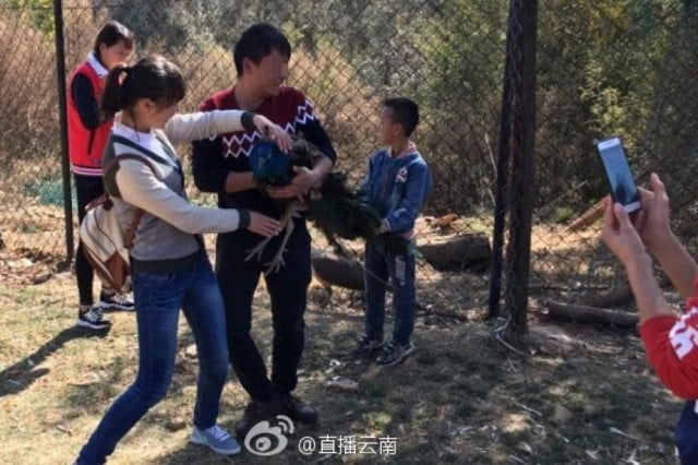 peacocks die selfie china zoo peacock death