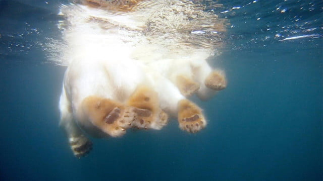 join group polar bears roaming arctic waters new gopro video polarbears