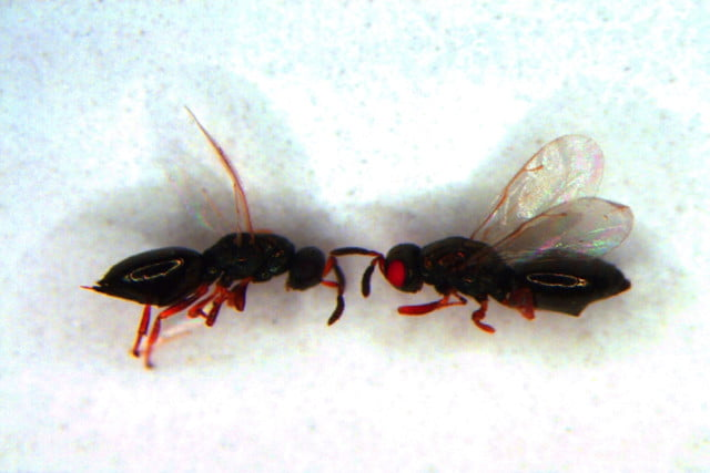 uc crispr red eyed wasps project second round mut wt image