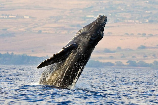 Pacific Humpback Whale off the coast of Maui Hawaii in the Central Pacific Ocean. (photo: Scott Mead)
