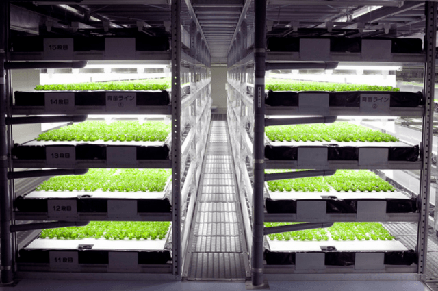 japan automated factory lettuce