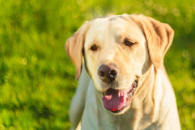 police dog thoreau golden lab helps combat child porn trained to sniff out hard drives shutterstock