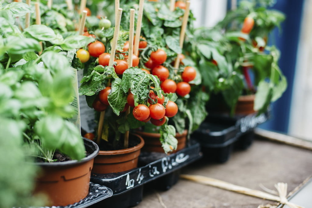 How to Grow Tomatoes in Pots - The Angle