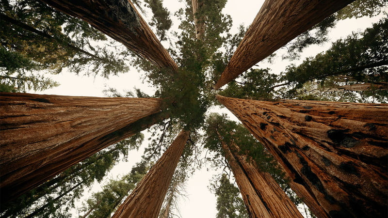 epic arbor day giant tree closeup in sequoia national park