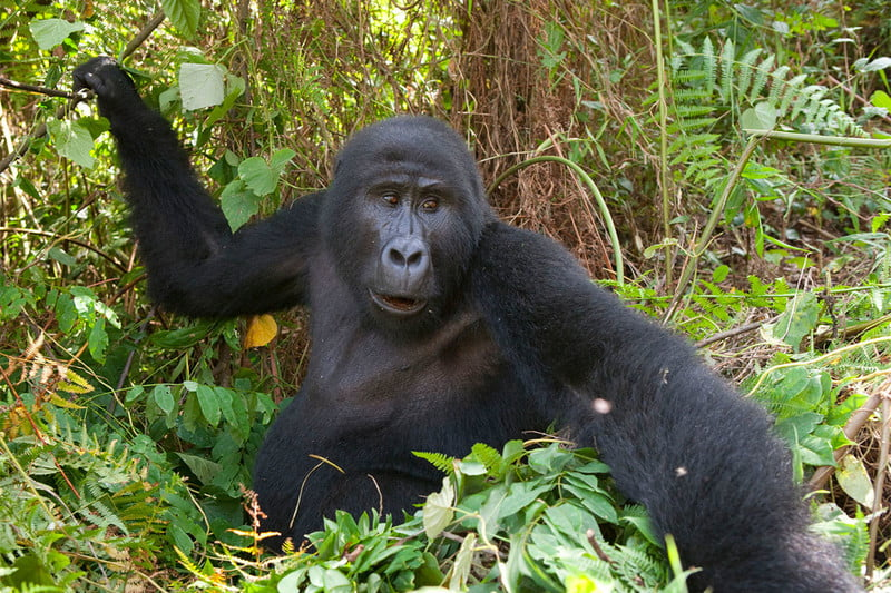 Trek with Endangered Mountain Gorillas