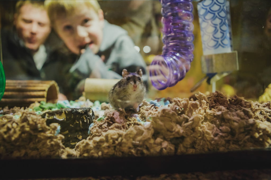 Child watches hamster in glass box
