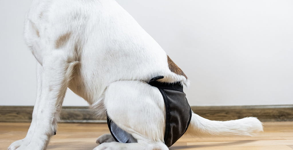 the best dog diapers for small and large dogs
