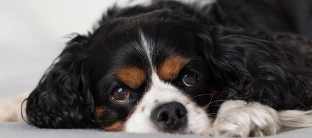 A Black and Tan Cavalier King Charles Spaniel lying on a white bed.
