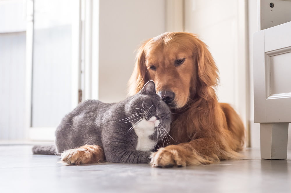 A gray and white cat nuzzling a Golden Retriever.
