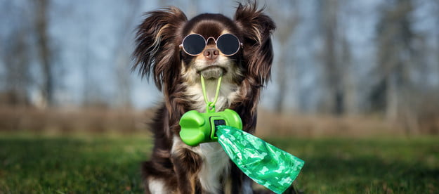 a long-coated chihuahua wearing sunglasses sits in the grass and holds a holder of poop bags in their mouth