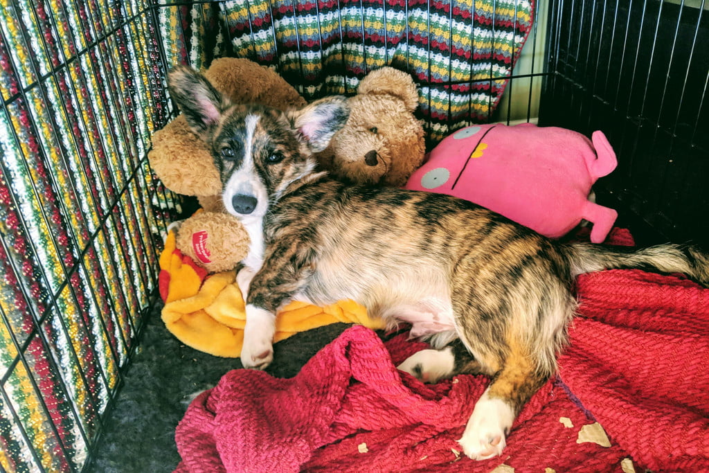 a Corgi puppy lies in her crate surrounded by blankets and toys