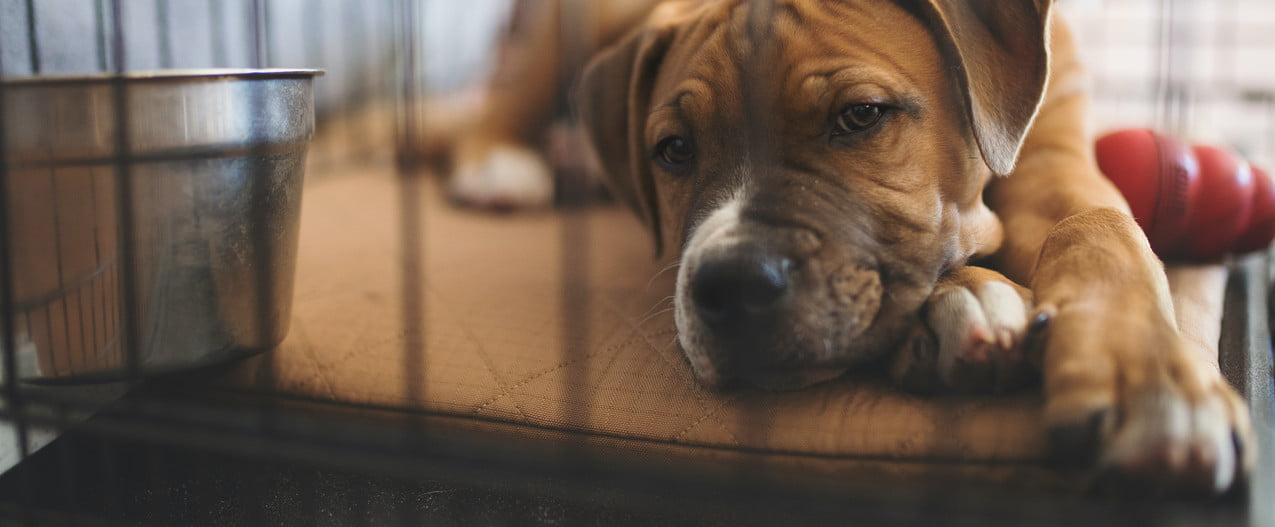 a brown puppy lies in their crate on a blanket with their head resting on their crossed paws
