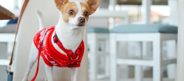 a white and brown chihuahua in a red sweater and harness sits on a white chair and looks off in the distance