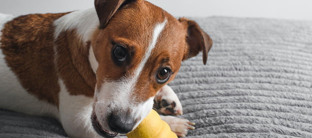 a jack russell terrier dog chews on a yellow kong toy