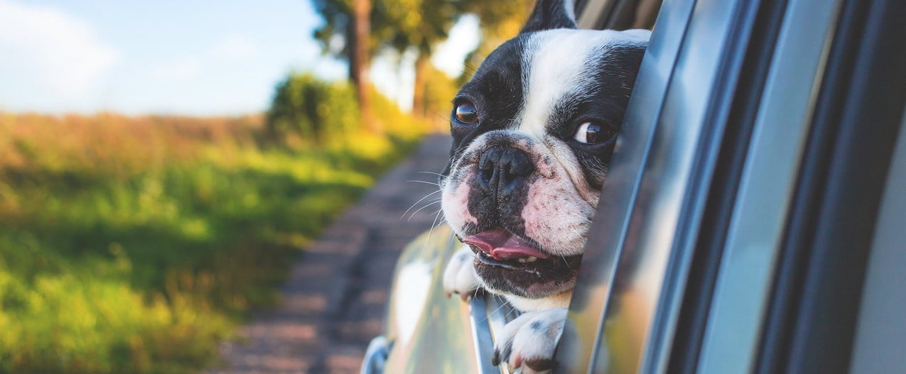 a black and white French bulldog holds their head out of a car window on a sunny day