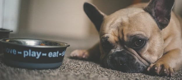 a brown french bulldog lies on the floor next to their black food dish