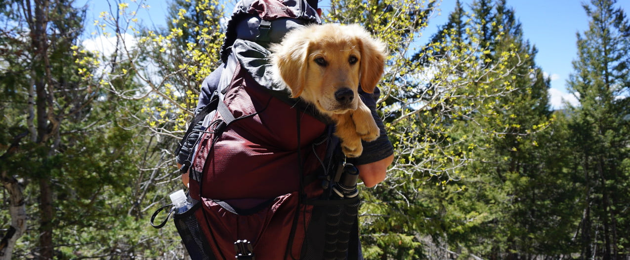 a golden retriever puppy looks at the camera from inside a hiker's backpack