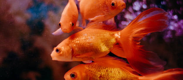 four goldfish facing different directions in a fish tank