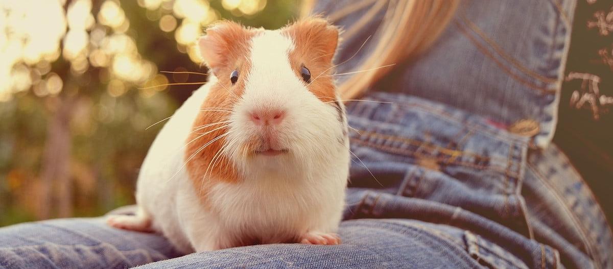 Guinea pig sitting on person's lap