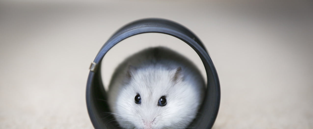 Hamster snacking in a plastic tube